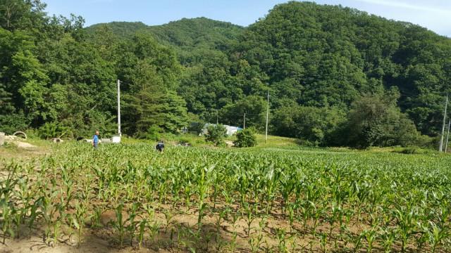 6월 옥수수.jpg