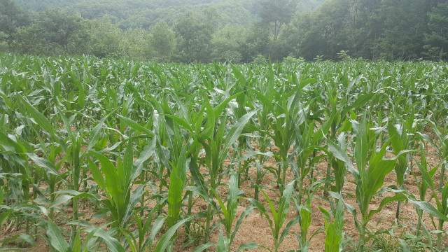 옥수수.jpg